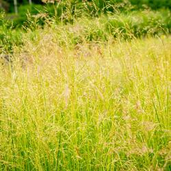 Metlice trsnatá 'Pixie Fountain' - Deschampsia caespitosa 'Pixie Fountain'