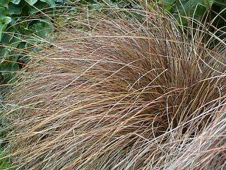 Ostřice Petreiova - Carex petriei