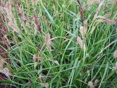 Ostřice ošimenská 'Green Wonder' - Carex oshimensis 'Green Wonder'