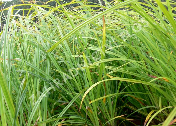 Ostřice Grayova - Carex grayi