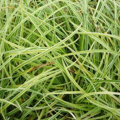 Ostřice 'Silver Sceptre' - Carex dolichostachya 'Silver Sceptre'