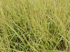 Ostřice 'Gold Fountain' - Carex dolichostachya 'Gold Fountain'