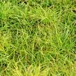 Ostřice 'The Beatles' - Carex caryophyllea 'The Beatles'