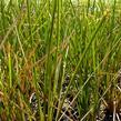 Ostřice 'Calita' - Carex calotides 'Calita'
