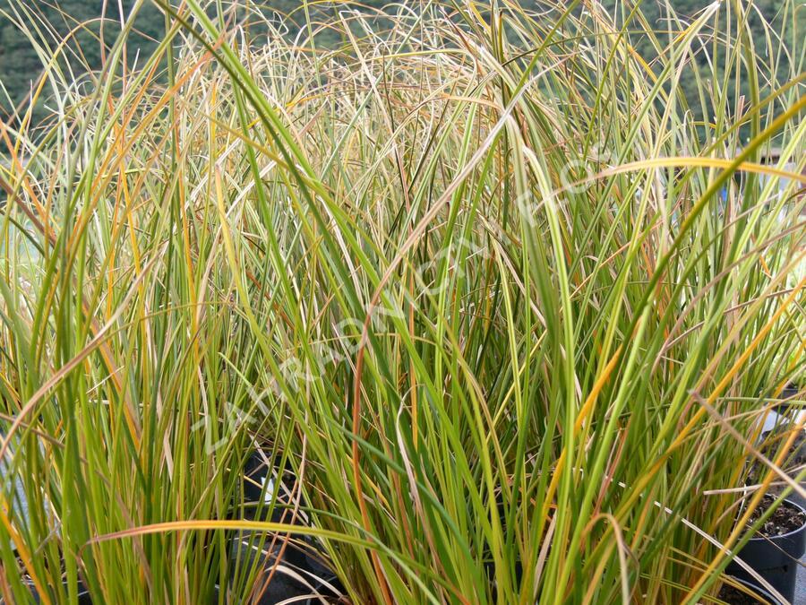 Ostřice - Carex calotides