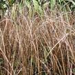 Ostřice Buchananova 'Franks Hair' - Carex buchananii 'Franks Hair'