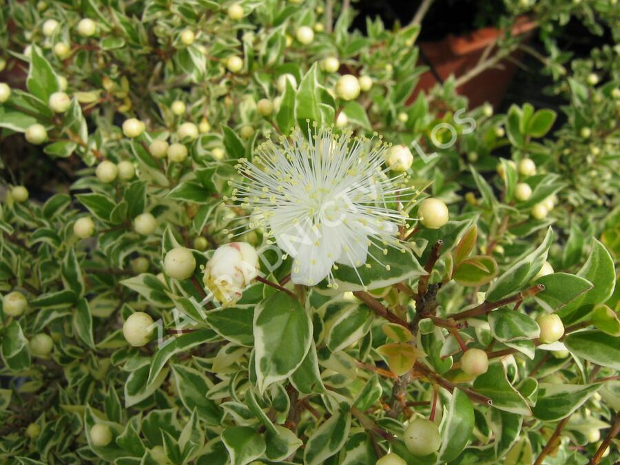 Myrta obecná 'Variegata' - Myrtus communis 'Variegata'
