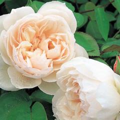 Anglická pnoucí růže Davida Austina 'The Generous Gardener' - Rosa PN 'The Generous Gardener'
