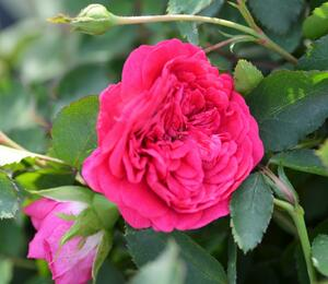 Anglická růže Davida Austina 'Sir John Betjeman' - Rosa S 'Sir John Betjeman'
