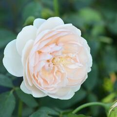 Anglická růže Davida Austina 'Lichfield Angel' - Rosa S 'Lichfield Angel'
