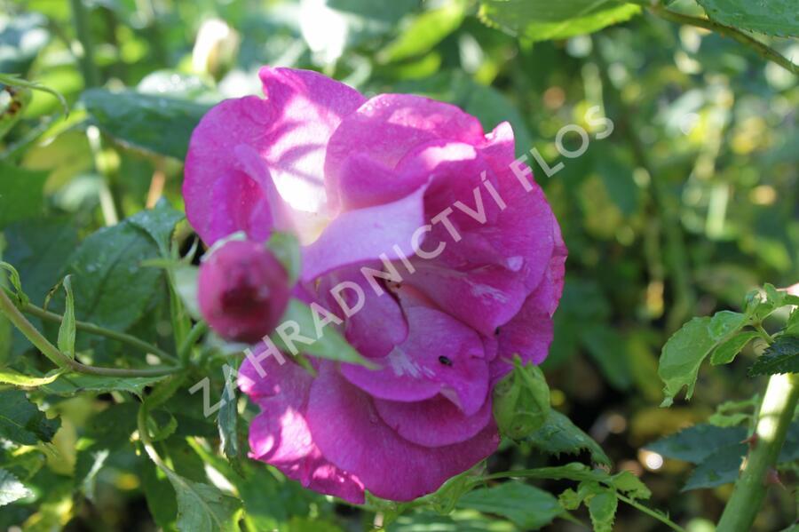 Růže pnoucí 'Violette' - Rosa PN 'Violette'