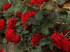 Růže pnoucí 'Don Juan' - Rosa PN 'Don Juan'