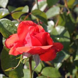 Růže pnoucí 'Bionda' - Rosa PN 'Bionda'