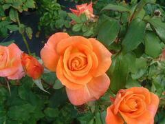 Růže mnohokvětá 'Woburn Abbey' - Rosa MK 'Woburn Abbey'