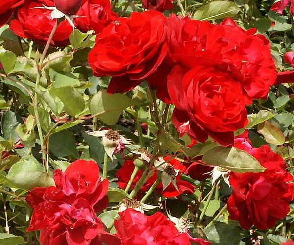Růže mnohokvětá 'Satchmo' - Rosa MK 'Satchmo'