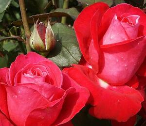 Růže velkokvětá 'Viva Rosa' - Rosa VK 'Viva Rosa'