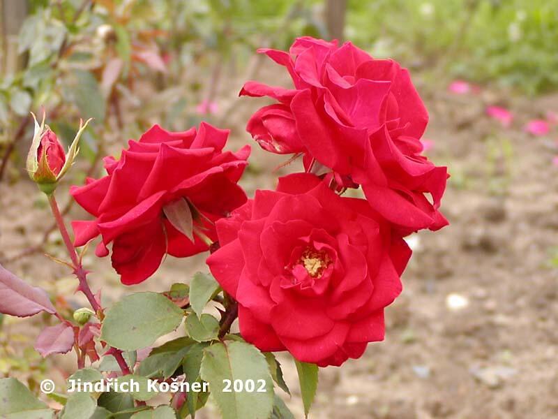 Růže velkokvětá 'Rue of Buisman' - Rosa VK 'Rue of Buisman'