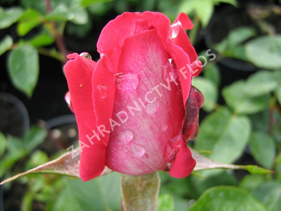 Růže velkokvětá 'Rose Gaujard' - Rosa VK 'Rose Gaujard'