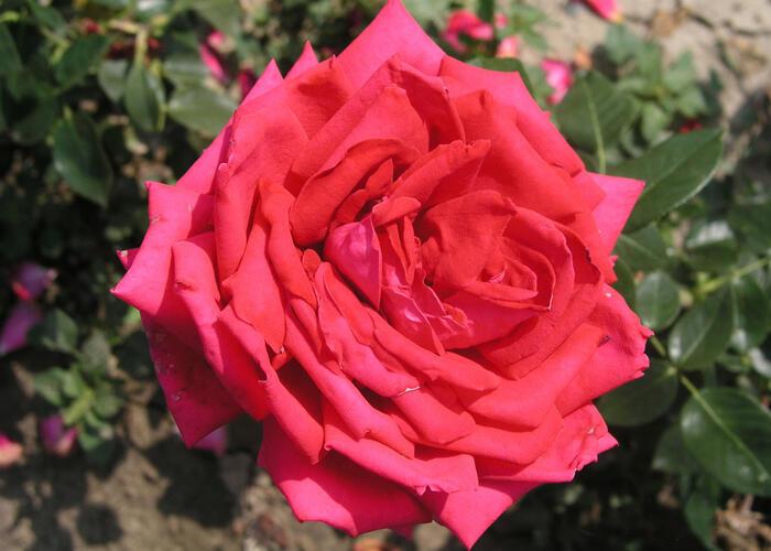 Růže velkokvětá 'Red Devil' - Rosa VK 'Red Devil'