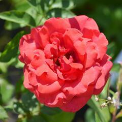 Růže velkokvětá 'Nottingam' - Rosa VK 'Nottingam'