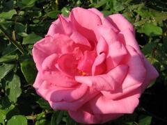 Růže velkokvětá 'Morava' - Rosa VK 'Morava'