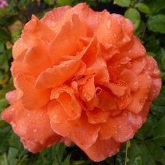 Růže velkokvětá 'Janina de Pearl' - Rosa VK 'Janina de Pearl'