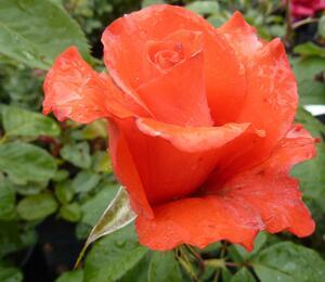Růže velkokvětá 'Holštýnská Perla' - Rosa VK 'Holštýnská Perla'