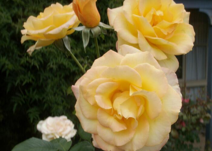 Růže velkokvětá 'Gold Medal' - Rosa VK 'Gold Medal'