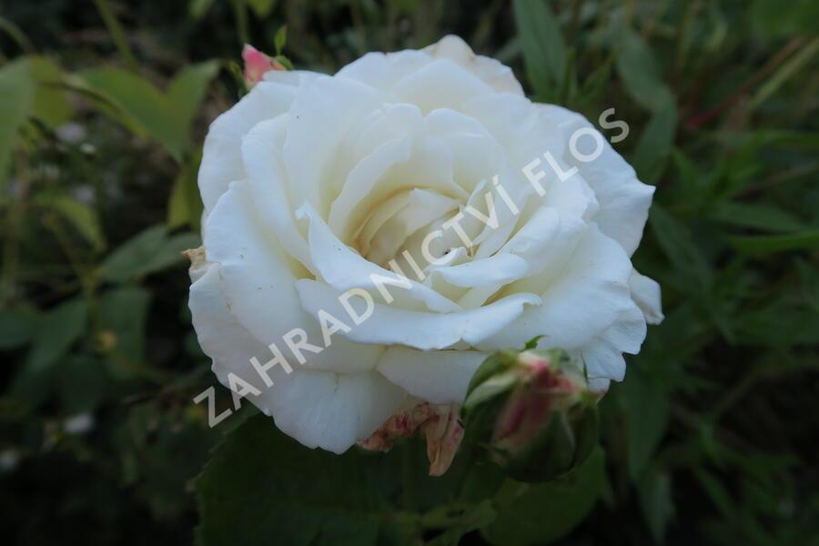 Růže velkokvětá 'Galahad' - Rosa VK 'Galahad'