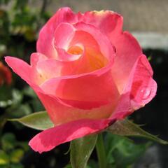 Růže velkokvětá 'Double Delight' - Rosa VK 'Double Delight'