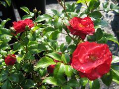 Růže mnohokvětá 'Terasa' - Rosa MK 'Terasa'