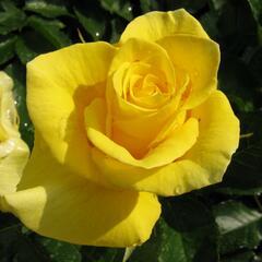 Růže mnohokvětá 'Sunflare' - Rosa MK 'Sunflare'