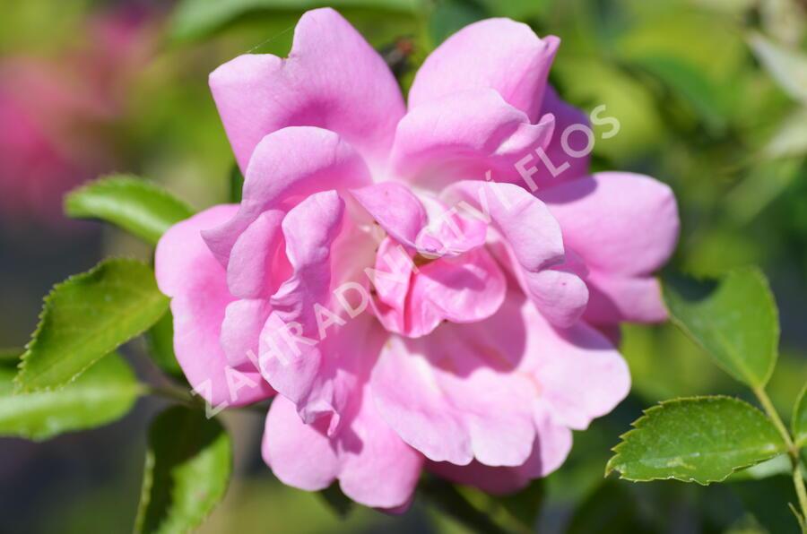 Růže pnoucí 'Tausendschon' - Rosa PN 'Tausendschon'
