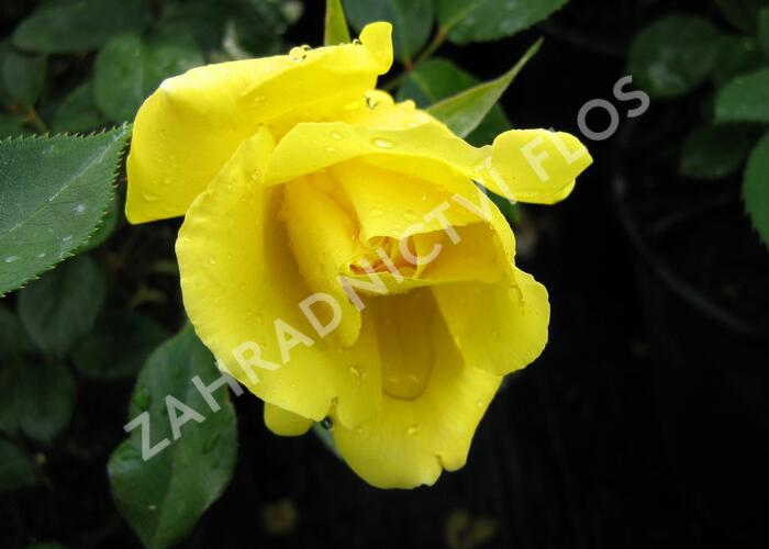 Růže pnoucí 'Royal Gold' - Rosa PN 'Royal Gold'