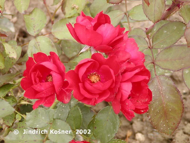 Růže pnoucí 'Romanze' - Rosa PN 'Romanze'