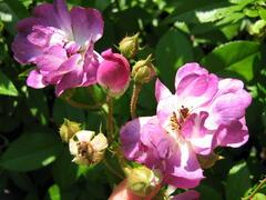 Růže pnoucí 'Rambler' - Rosa PN 'Rambler'