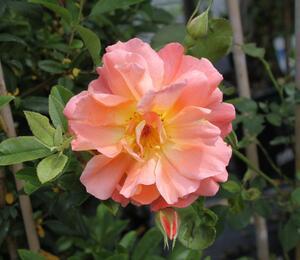 Růže pnoucí 'Metanoia' - Rosa PN 'Metanoia'