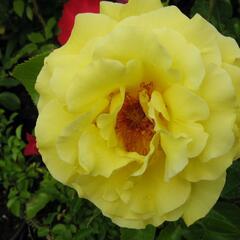 Růže pnoucí 'Lucie' - Rosa PN 'Lucie'