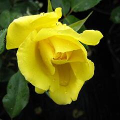 Růže pnoucí 'Gold Royal' - Rosa PN 'Gold Royal'