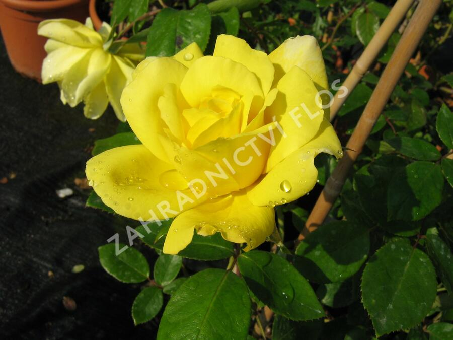 Růže pnoucí 'Gold Royal' - Rosa PN 'Gold Royal'