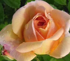 Růže pnoucí 'Bonanzo' - Rosa PN 'Bonanzo'