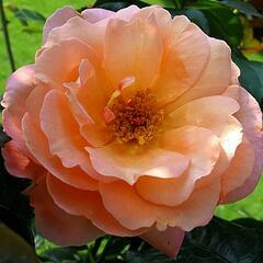 Růže mnohokvětá 'Münsterland' - Rosa MK 'Münsterland'