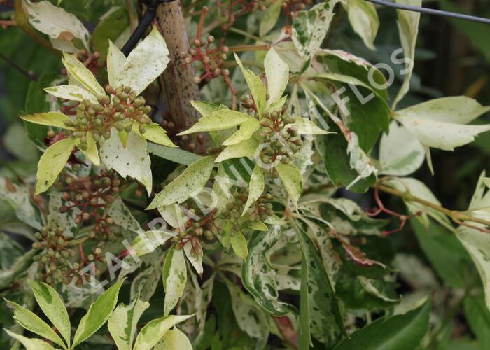 Přísavník pětilistý, loubinec 'Silver Shower' - Parthenocissus quinquefolia 'Silver Shower'