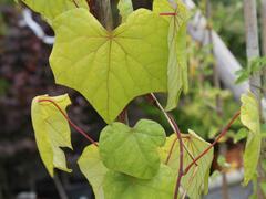 Lunoplod dahurský - Menispermum dauricum