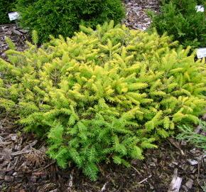 Smrk ztepilý 'Vermont Gold' - Picea abies 'Vermont Gold'