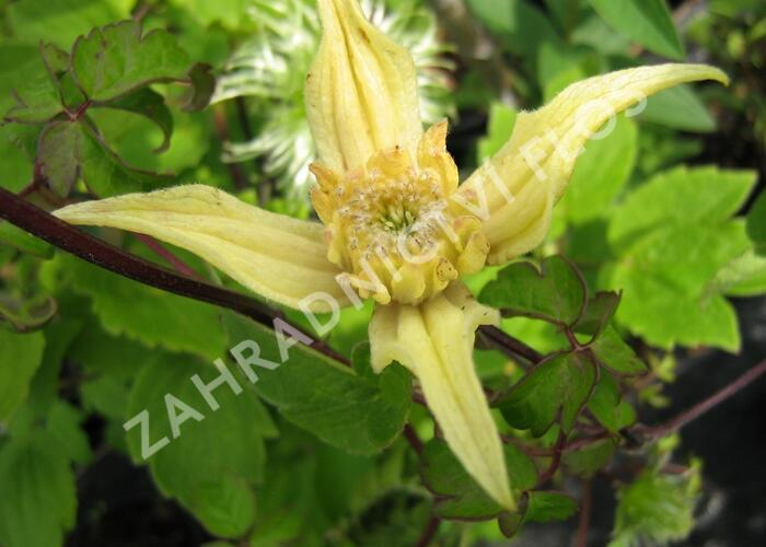 Plamének 'Lemon Bells' - Clematis chiisanensis 'Lemon Bells'