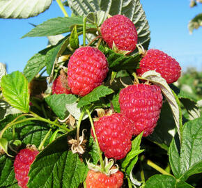 Maliník remontantní 'Ada' - Rubus idaeus 'Ada'