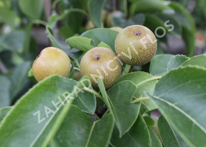 Hrušeň asijská - nashi - Pyrus pyrifolia