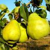 Hrušeň podzimní 'Blanka' - Pyrus communis 'Blanka'