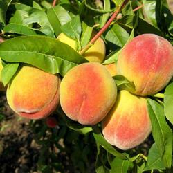 Broskvoň - pozdní 'Radost' - Prunus persica 'Radost'